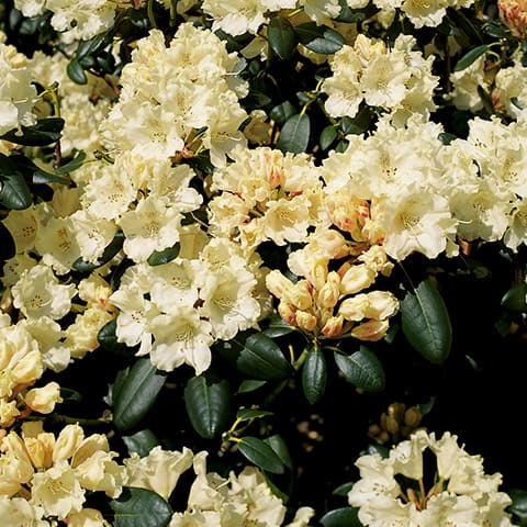 rhododendron yakushimanum hybriden 39 marietta 39 zwerg. Black Bedroom Furniture Sets. Home Design Ideas