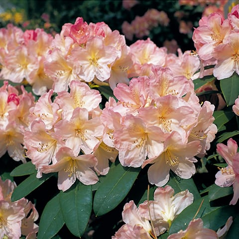 rhododendron yakushimanum hybriden 39 percy wiseman 39 zwerg rhododendron g rtnerei schwitter ag. Black Bedroom Furniture Sets. Home Design Ideas