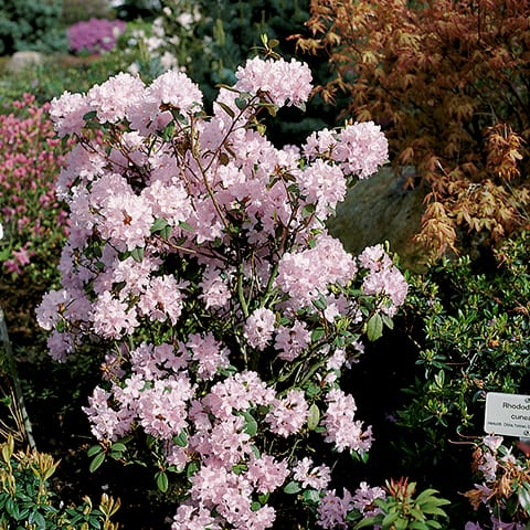 rhododendron racemosum 39 pink pompon 39 rhododendron. Black Bedroom Furniture Sets. Home Design Ideas