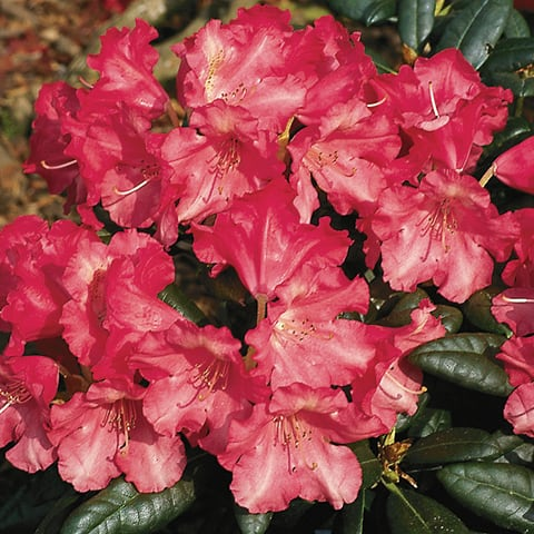 rhododendron yakushimanum hybriden 39 priscilla 39 zwerg rhododendron g rtnerei schwitter ag. Black Bedroom Furniture Sets. Home Design Ideas