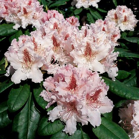 rhododendron hybriden 39 progr s 39 grossblumiger. Black Bedroom Furniture Sets. Home Design Ideas