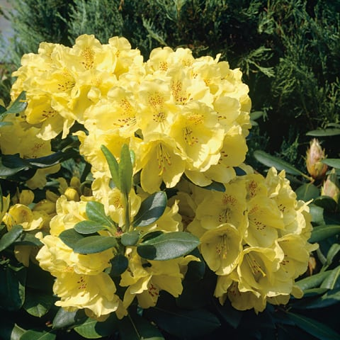 rhododendron hybriden 39 goldkrone 39 grossblumiger. Black Bedroom Furniture Sets. Home Design Ideas