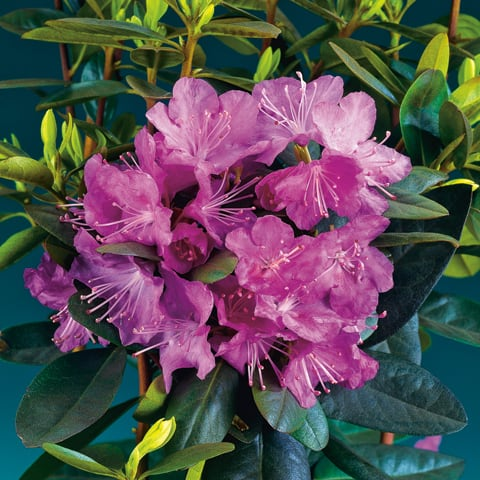 rhododendron ponticum 39 imbricatum 39 rhododendron. Black Bedroom Furniture Sets. Home Design Ideas