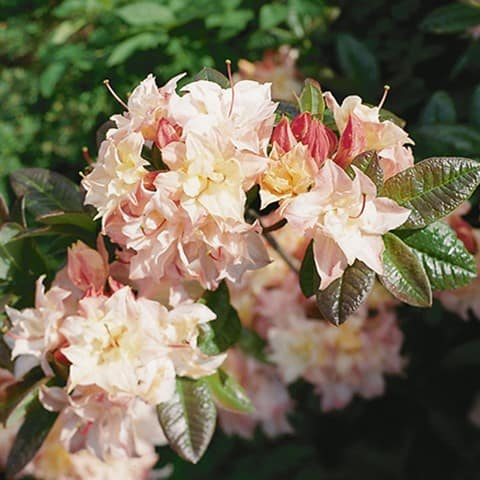 rhododendron luteum hybriden 39 cannon 39 s double. Black Bedroom Furniture Sets. Home Design Ideas