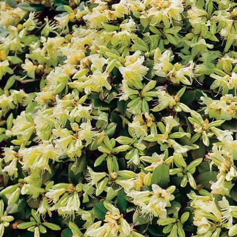 rhododendron hanceanum 39 shamrock 39 rhododendron. Black Bedroom Furniture Sets. Home Design Ideas