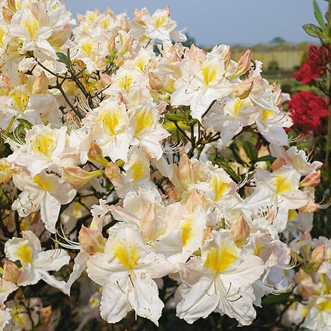 rhododendron luteum hybriden 39 schneegold 39 laubabwerfende. Black Bedroom Furniture Sets. Home Design Ideas