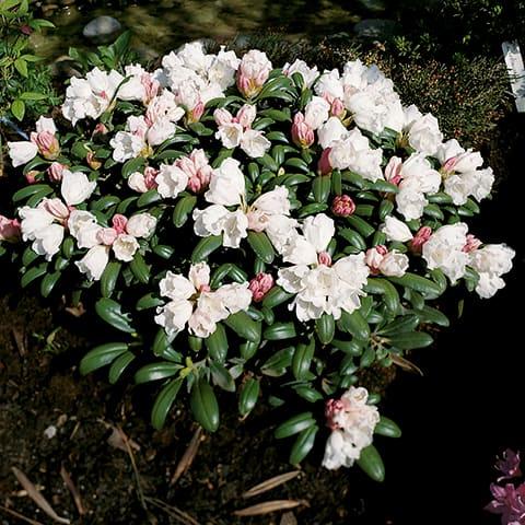 rhododendron obtusum hybriden 39 schneeperle 39 japanische. Black Bedroom Furniture Sets. Home Design Ideas