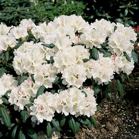 rhododendron yakushimanum hybriden 39 schwanensee 39 zwerg rhododendron g rtnerei schwitter ag. Black Bedroom Furniture Sets. Home Design Ideas