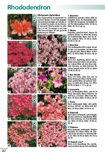 schwitters-pflanzenwelt-rhododendron