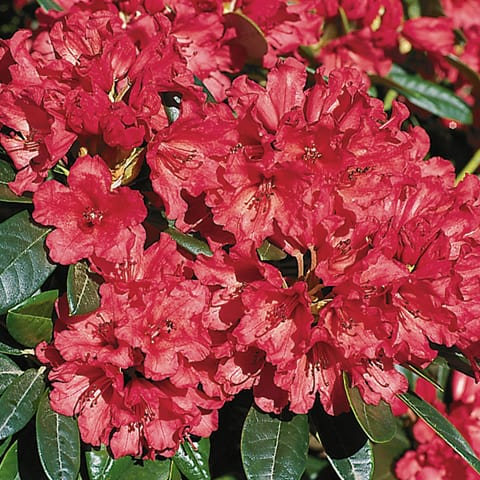 rhododendron yakushimanum hybriden 39 titian beauty 39 zwerg rhododendron g rtnerei schwitter ag. Black Bedroom Furniture Sets. Home Design Ideas