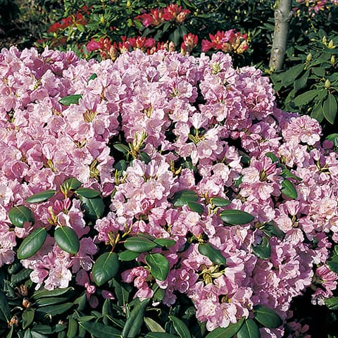 rhododendron williamsianum 39 vater b hlje 39 rhododendron. Black Bedroom Furniture Sets. Home Design Ideas