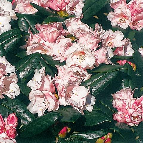 rhododendron yakushimanum hybriden 39 wanna bee 39 zwerg. Black Bedroom Furniture Sets. Home Design Ideas