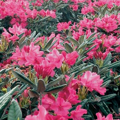 rhododendron smirnowii 39 weinlese 39 rhododendron. Black Bedroom Furniture Sets. Home Design Ideas