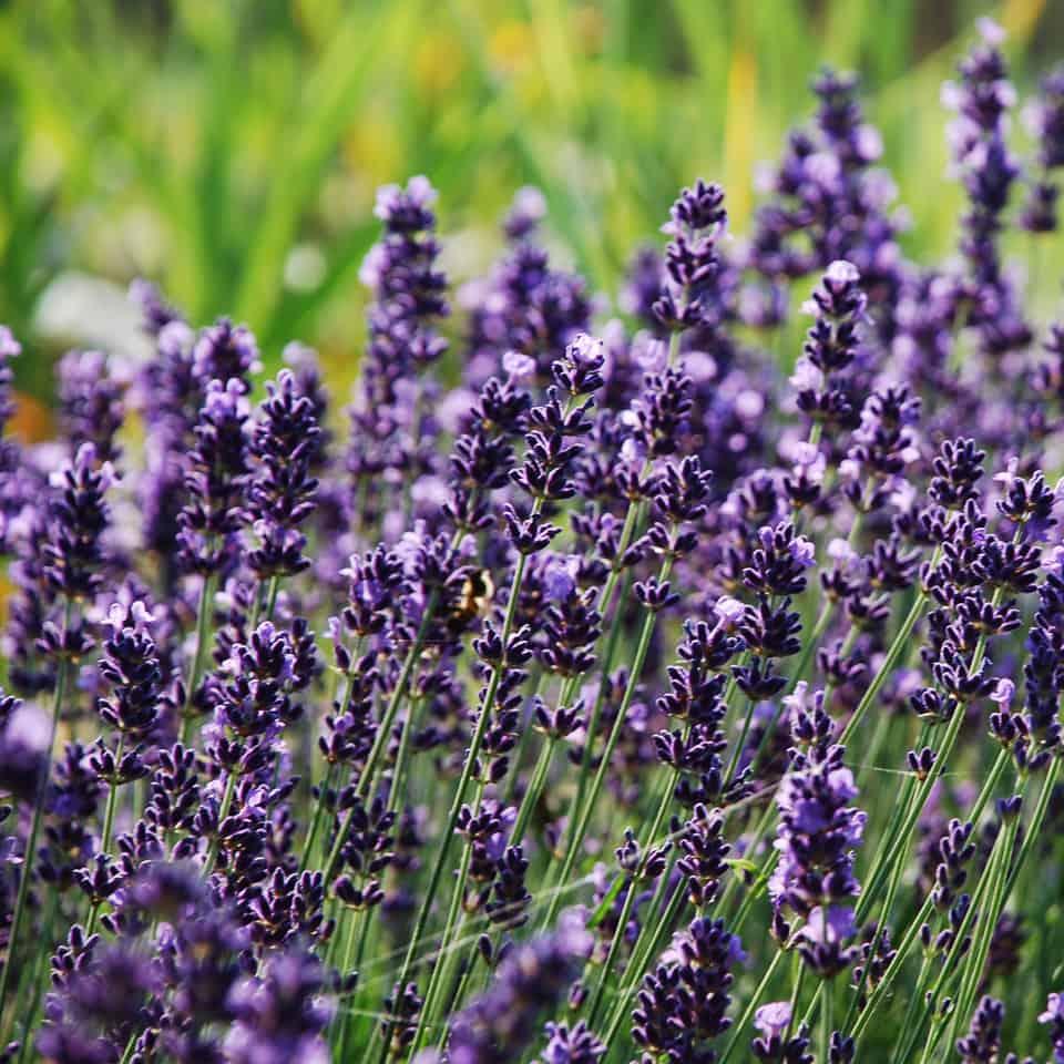 Lavendel Eigenproduktion
