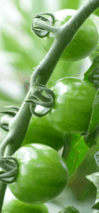 tomate03-web
