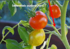 tomaten pflanzen und pflegen leicht gemacht g rtnerei schwitter ag. Black Bedroom Furniture Sets. Home Design Ideas