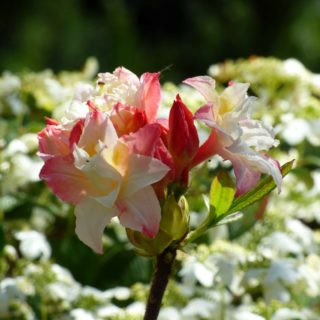news-rhododendron-2