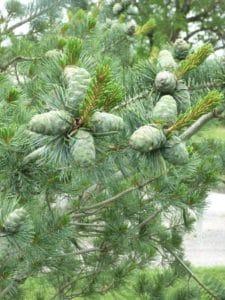 pinus-parviflora-negeshi
