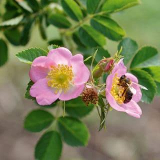 Rose Canina