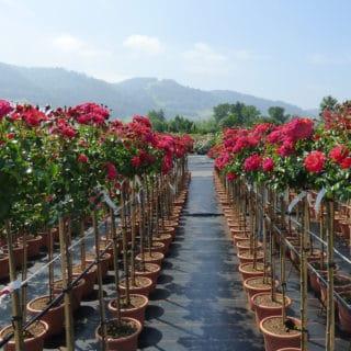 Rosenproduktion
