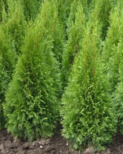 thuja-occidentalis_smaragd
