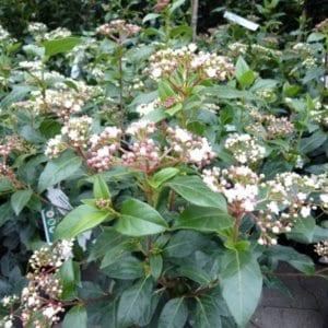 viburnum-tinus-eve-price-4
