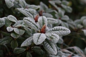 Rhododendron im Winter