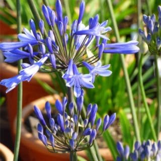agapanthus-dr-brouwer