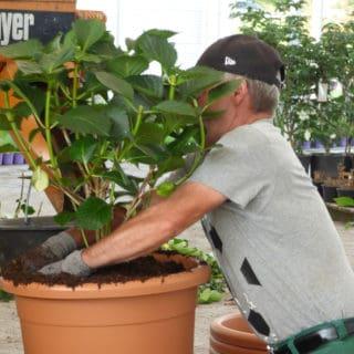 Eigenproduktion Hortensien