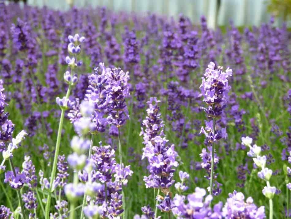 lavendel stecklinge ziehen gk kreativ lavendel schneiden und vermehren lavendel vermehren. Black Bedroom Furniture Sets. Home Design Ideas