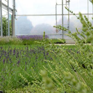 news-eigenproduktion-lavendel-web-5