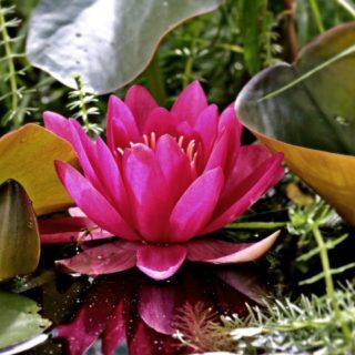 news-wasserpflanzen-water-lily-1486090_1920