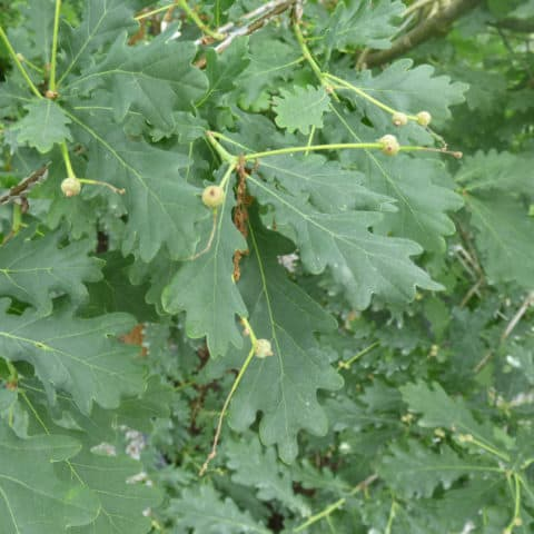 Quercus Robur Stieleiche Gartnerei Schwitter Ag