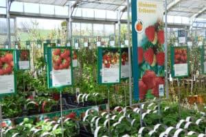 Erdbeeren Gärtnerei Schwitter AG
