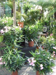 oleander-pflegen-web-1