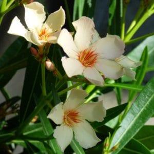 oleander-pflegen-web-2