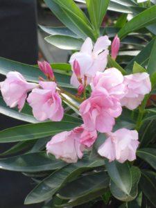 oleander-pflegen-web-5