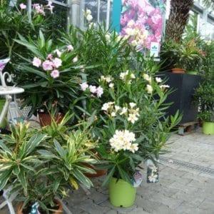 oleander-pflegen-web-6