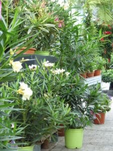 oleander-pflegen-web-7