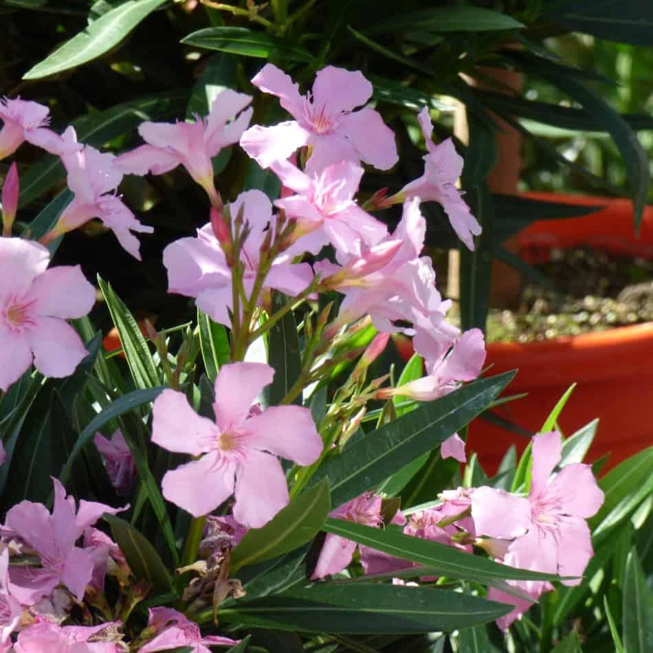 oleander pflegen tipps und tricks g rtnerei schwitter ag. Black Bedroom Furniture Sets. Home Design Ideas