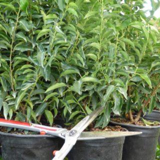 News-Eigenproduktion-Prunus (6)