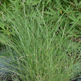 news-graeser-miscanthus-sinensis-kleine-silberspinne-2