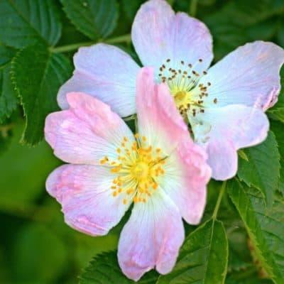 Hagebutten Wildrose