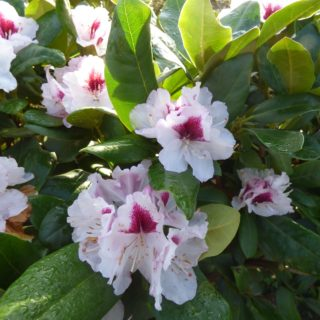 Rhododendron-Beete