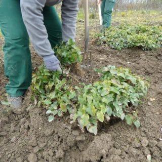 Mutterpflanzen einschlagen