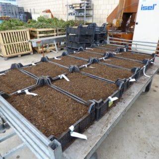Mutterpflanzen-einschlagen-P1310231-web