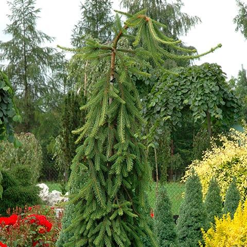 Picea Abies Inversa Hänge Fichte Schleppen Fichte Gärtnerei