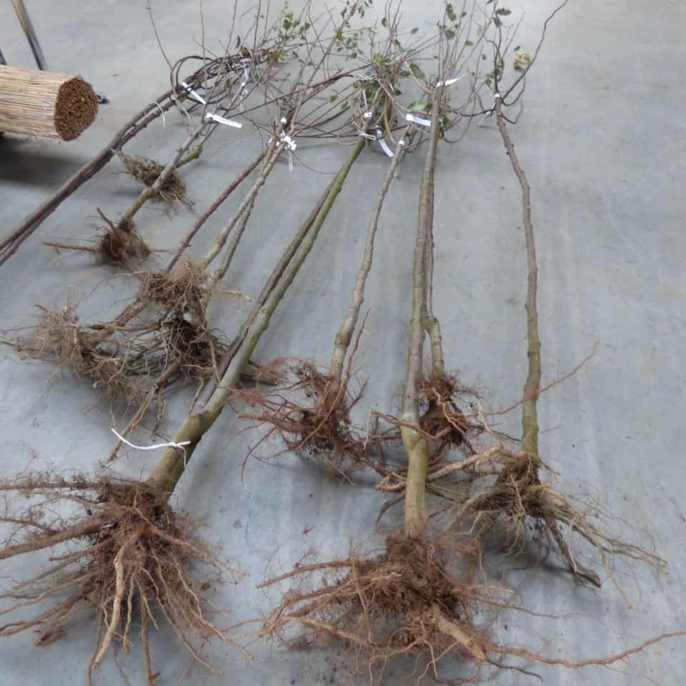 das richtige einpflanzen von wurzelnackten pflanzen. Black Bedroom Furniture Sets. Home Design Ideas
