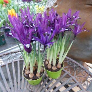 Iris-P1320251-web