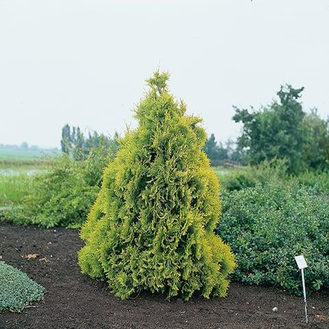 thuja occidentalis 39 sunkist 39 goldgelber lebensbaum. Black Bedroom Furniture Sets. Home Design Ideas